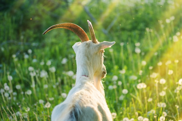 Capra femmina di close-up. capra bianca in un campo chiuda in su di una capra inquisitrice Foto Premium