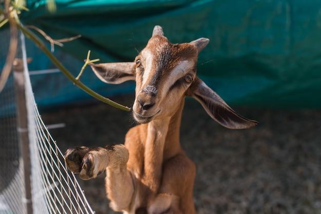 Capra sveglia che mangia un ramo di erba. capra marrone in una penna all'aperto Foto Premium