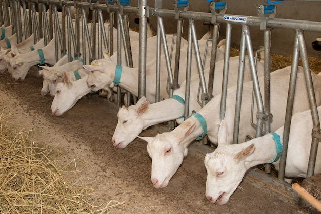Capre domestiche nella fattoria in attesa di cibo Foto Premium