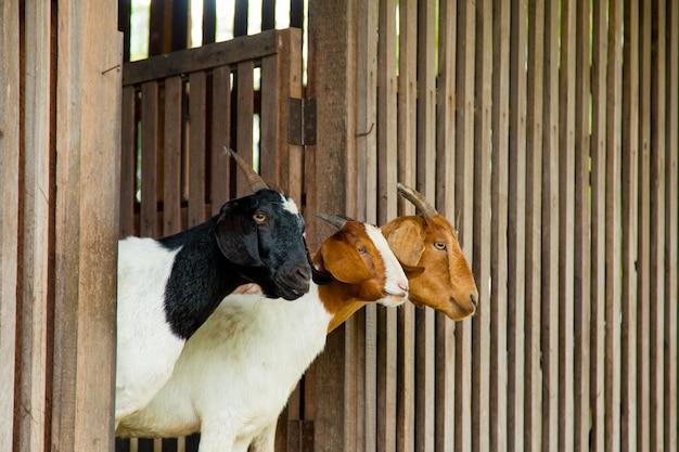 Capre nella fattoria in thailandia Foto Premium