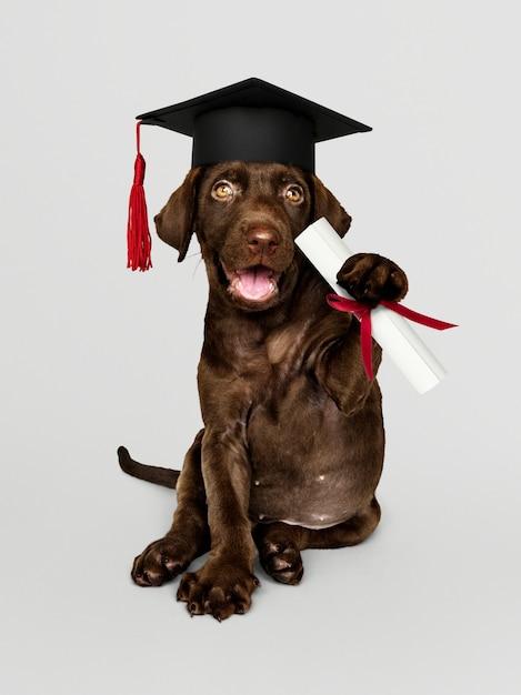 Carino cioccolato labrador retriever in un cappello di laurea e in possesso di un rotolo di certificato Foto Gratuite
