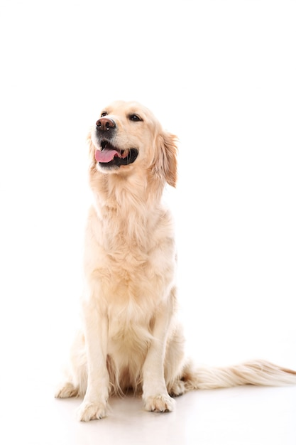 Carino golden retriever Foto Gratuite