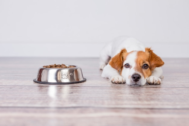 Carino piccolo cane in attesa di pasto o cena il cibo per cani. è disteso sul pavimento Foto Premium