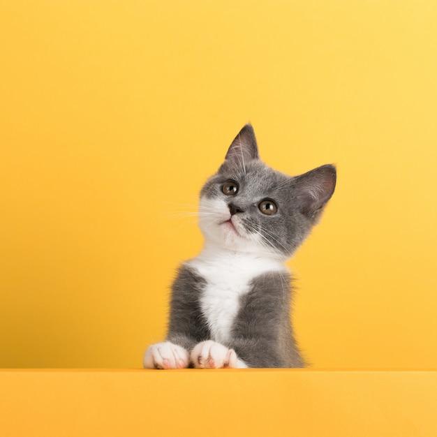 Carino piccolo gatto grigio, su un giallo, guarda e gioca. buisiness, copyspace. Foto Premium