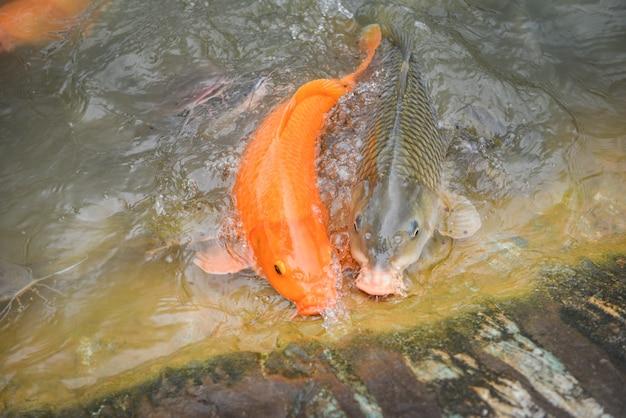 Carpa dorata pesce arancio o carpa comune e pesce gatto che mangiano dall'alimentazione dell'alimento sull'acqua Foto Premium
