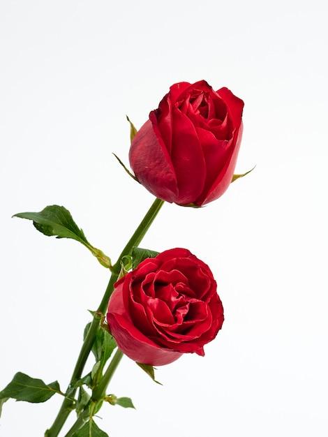 Carta di san valentino. due rose rosse. Foto Premium