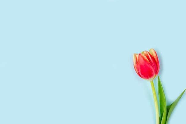 Cartolina d'auguri con un tulipano blu fresco su fondo rosa. sfondo per donna, festa della mamma, san valentino, compleanno e altri eventi. mockup piatto per le tue lettere o copia spazio per il testo Foto Premium