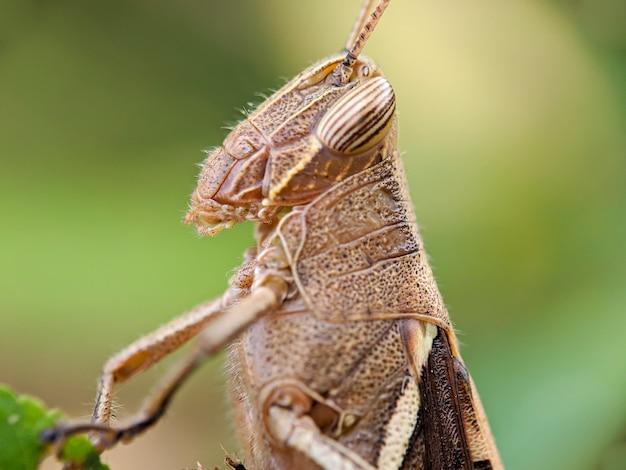 Cavalletta marrone chiamata anche cavalletta dalle corna corte, si nasconde dietro le foglie verdi. Foto Premium