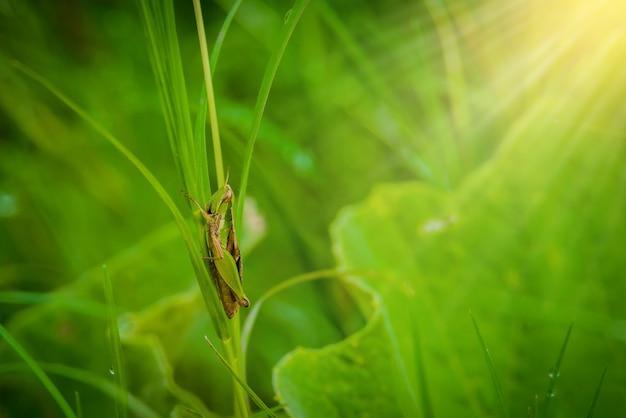 Cavalletta sulla foglia d'erba da vicino nel campo Foto Premium