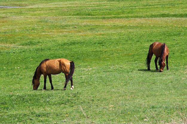 Cavalli nelle montagne del caucaso, armenia Foto Premium