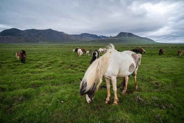 Cavallo islandese in natura scenica dell'islanda. Foto Premium