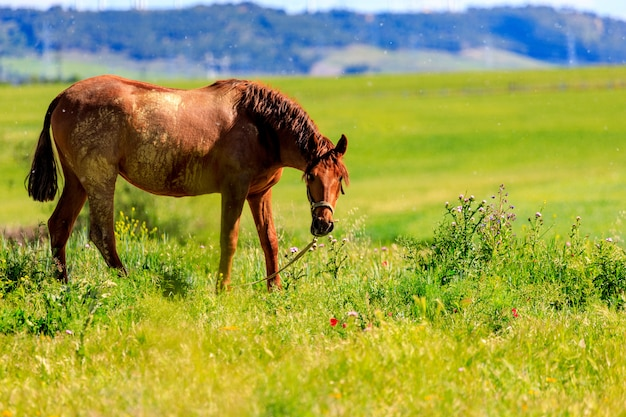 Cavallo nero che pasce in primavera nel prato. cambio del cappotto. Foto Premium