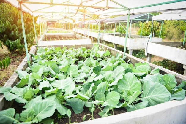 Cavolo in giardino fattoria verdura serra / Foto Premium