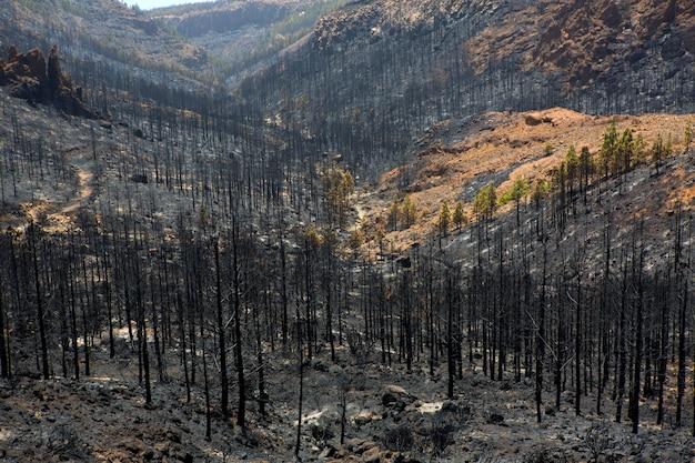 Ceneri nere di pino canarino dopo incendio boschivo a teide Foto Premium
