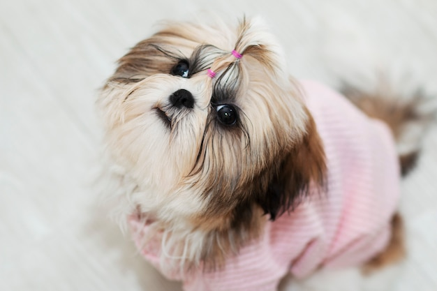 Cerca il bellissimo cucciolo carino shih tzu in abiti rosa Foto Premium