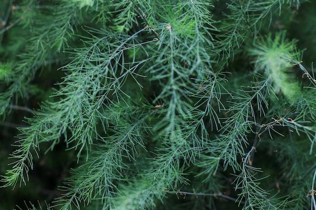 Cespuglio decorativo dell'erba verde per la decorazione sopra fondo. avvicinamento. erba lunga decorativa, carice sempreverde. Foto Premium