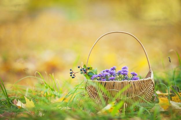 Cesto con fiori autunnali. un periodo autunnale. hrysanthemums viola in un cestino di vimini Foto Premium