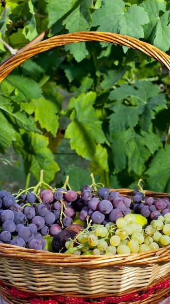 Cesto di uva e fichi Foto Premium