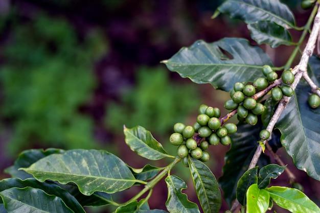 Chicchi di caffè su un albero Foto Premium