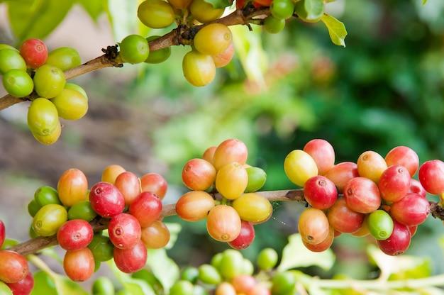 Chicco di caffè maturo sull'albero, raccolto del caffè arabica sul ramo di un albero Foto Premium