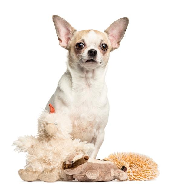 Chihuahua che si siede dietro i giocattoli farciti isolati su bianco Foto Premium