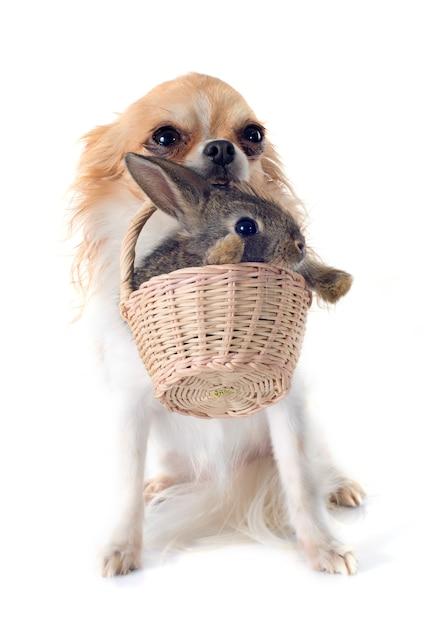 Chihuahua e coniglio Foto Premium