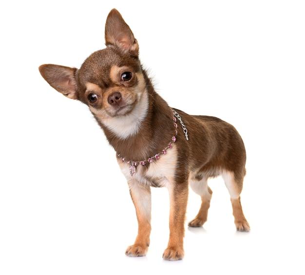 Chihuahua marrone in studio Foto Premium