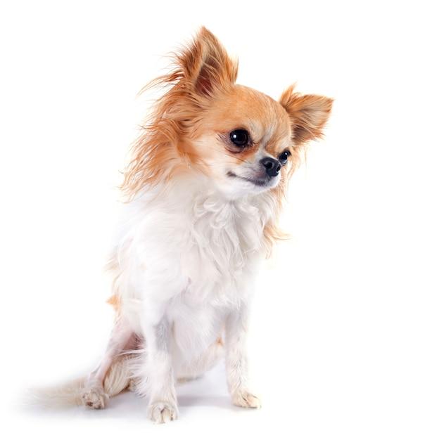 Chihuahua Foto Premium
