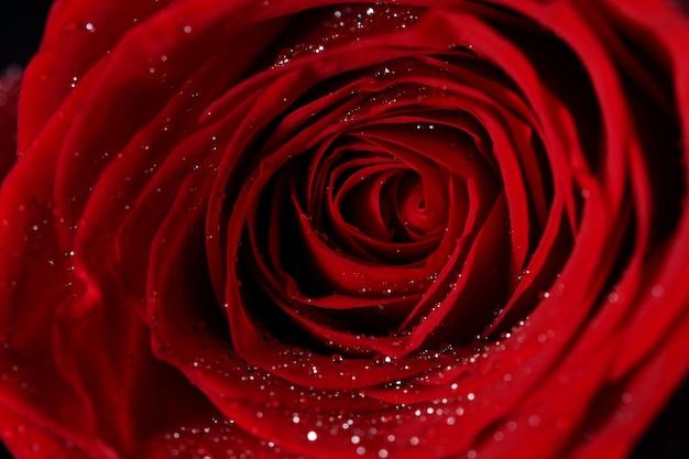 Chiuda in su del fiore della rosa rossa Foto Gratuite
