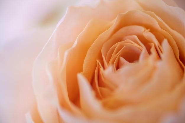 Chiuda in su del fiore di rosa dell'arancio. Foto Premium