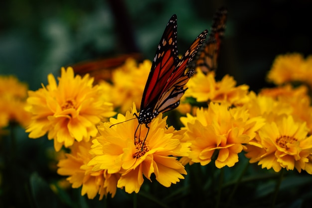 Chiuda in su della farfalla di monarca posseduta sui fiori gialli del giardino Foto Gratuite