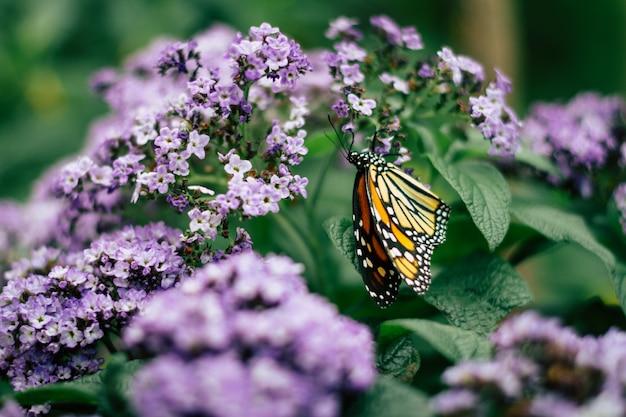 Chiuda in su della farfalla di monarca sui fiori viola del giardino Foto Gratuite