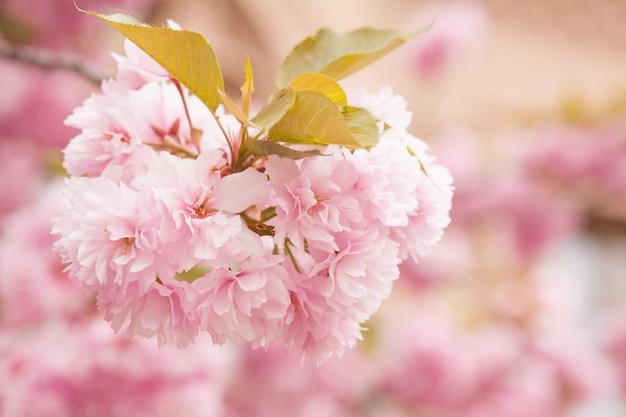 Chiuda in su di bei fiori dentellare di sakura di mattina. fiore di ciliegio Foto Premium