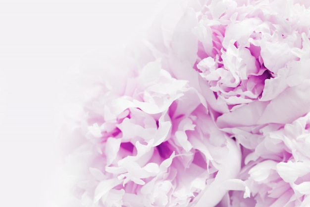 Chiuda in su di bello fiore viola della peonia con lo spazio della copia. Foto Premium