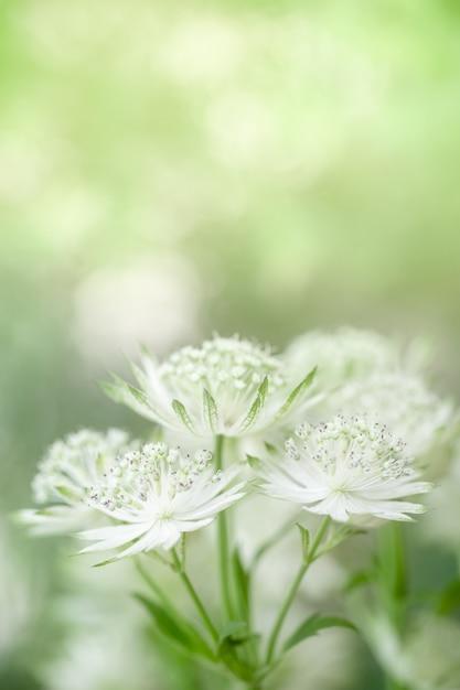 Chiuda in su di carino e bellezza mini fiore bianco e verde su verde offuscata Foto Premium