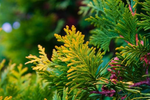 Chiuda in su di colore giallo e verde dei fogli del ginepro. Foto Premium