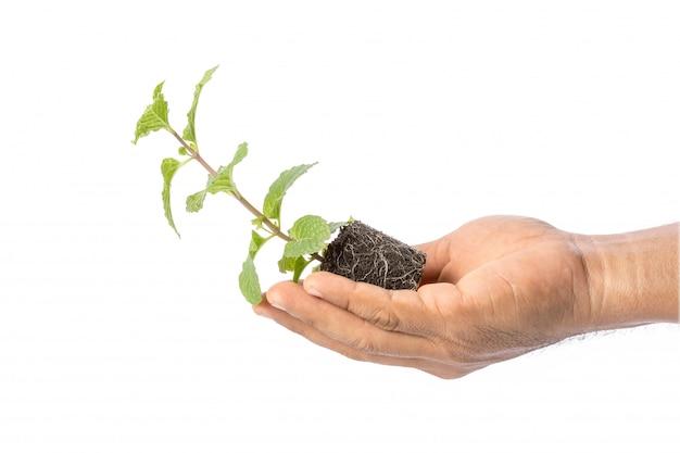 Chiuda in su di menta piperita fresca verde con terreno Foto Premium