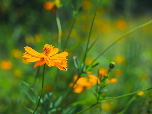 Chiuda su del cavolo bipinnatus giallo cosmos di aster dell'aster nel giardino Foto Premium
