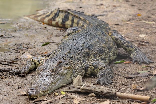 Chiuda sul coccodrillo vicino al fiume in tailandia. Foto Premium