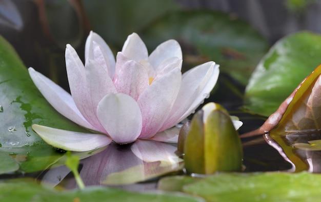 Chiuda sul fiore di un waterlily fra permesso in uno stagno Foto Premium