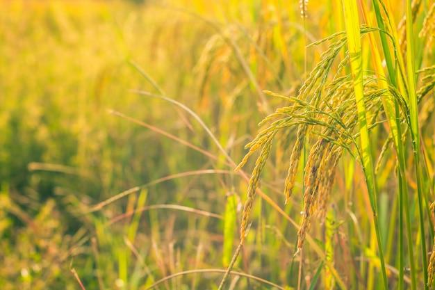 Chiuda sul giacimento dorato del riso. Foto Premium