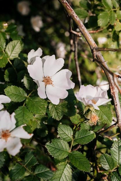Chiuda sul glauca di rosa nel giardino Foto Gratuite