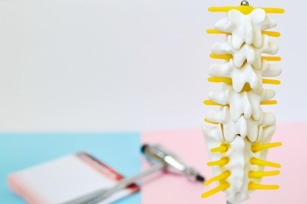 Chiuda sul modello di scheletro della spina dorsale umana dei lombi. Foto Premium