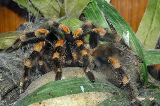 Chiuda sul ragno della tarantola, brachypelma boehmei Foto Premium