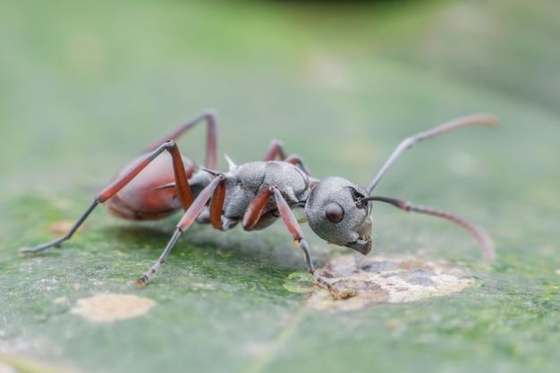 Chiuda sulla formica sulla foglia verde Foto Premium