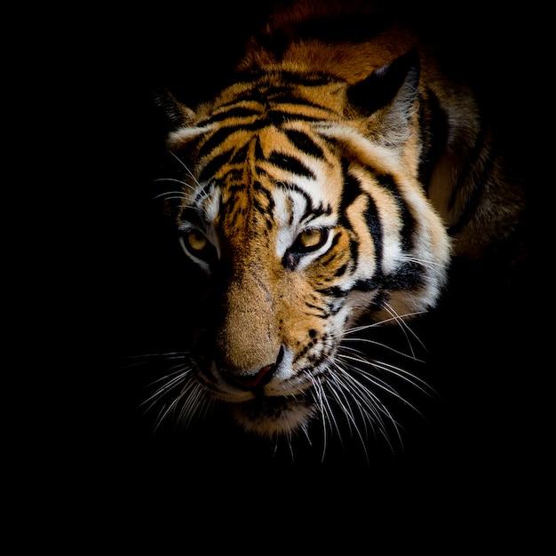 Chiuda sulla tigre del fronte isolata su fondo nero Foto Premium