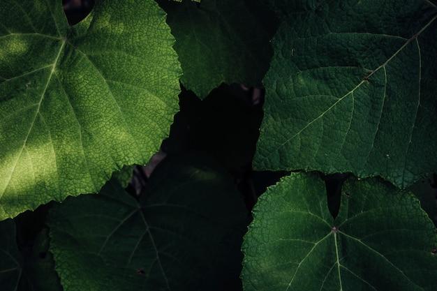 Chiudere le foglie di uva Foto Gratuite