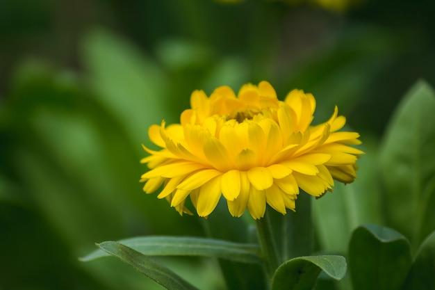 Chrysanthemum yellow è un altro tipo di legno che viene coltivato popolarmente. Foto Premium