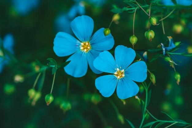 Ciano fiori luminosi stupefacenti di lino che fioriscono sul fondo verde Foto Premium