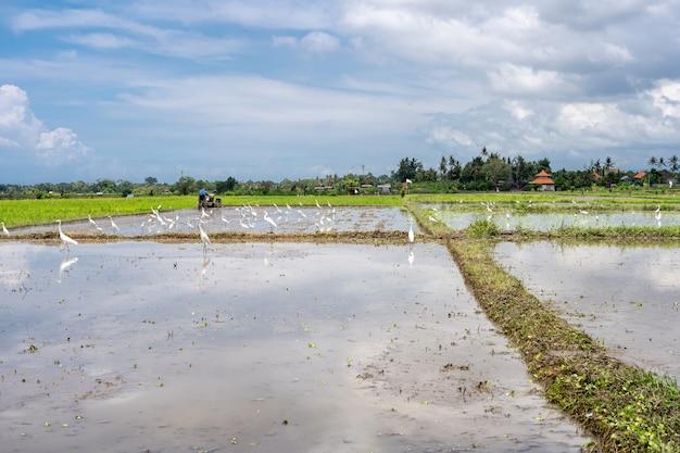 Cicogne in un campo di riso coperto d'acqua Foto Premium
